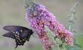 Motýlí keř