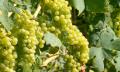 Víno a jeho vliv na srdce a cévy